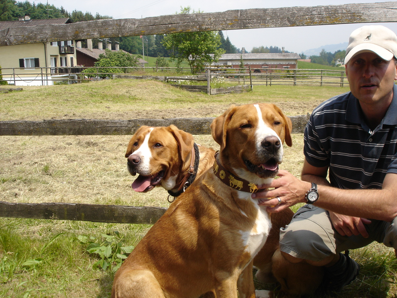 Greater Swiss Mountain Dog Breeders? | Yahoo Answers